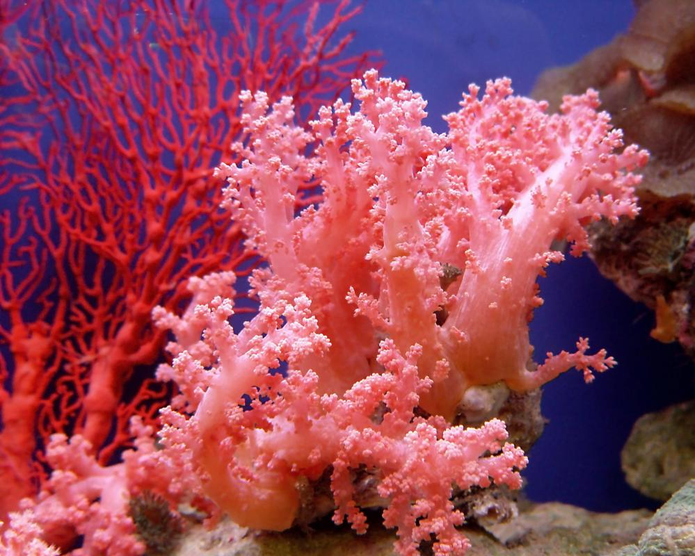 Corals are related to jellyfish and anemones.