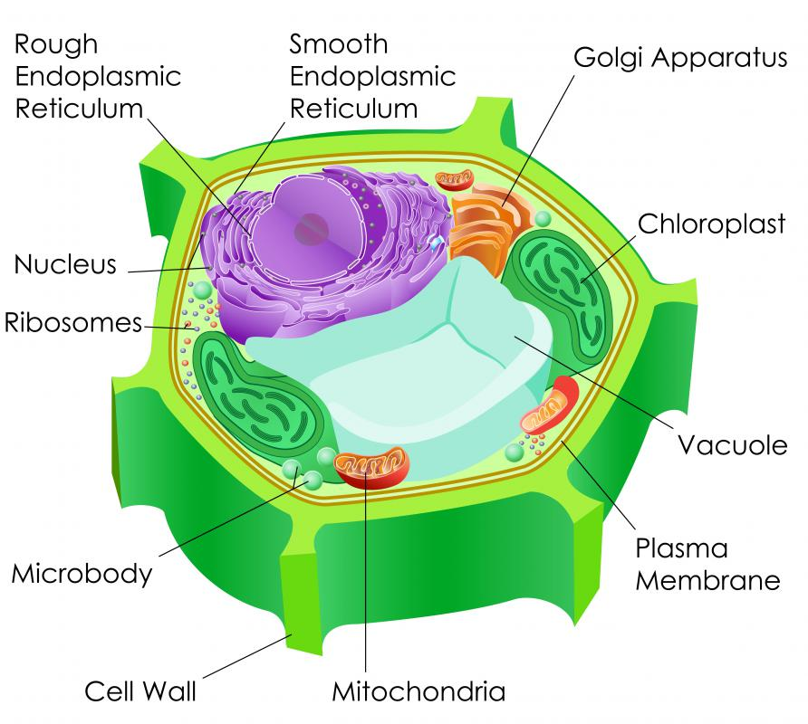 Golgi bodies can be found in plant cells.