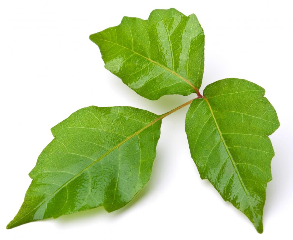 Urushiol is found in poison ivy, poison oak, and sumac.
