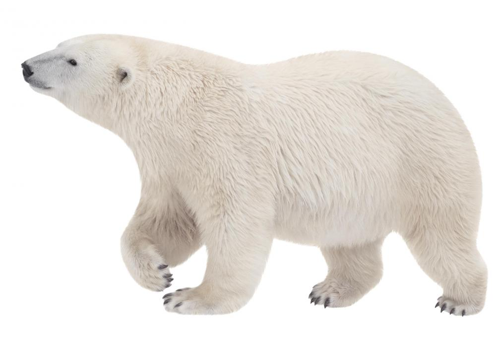 Some animal livers, including those of polar bears, contain extremely high levels of vitamin A.