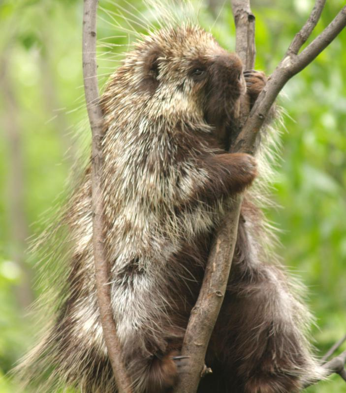 Porcupine spines are an example of convergent evolution.