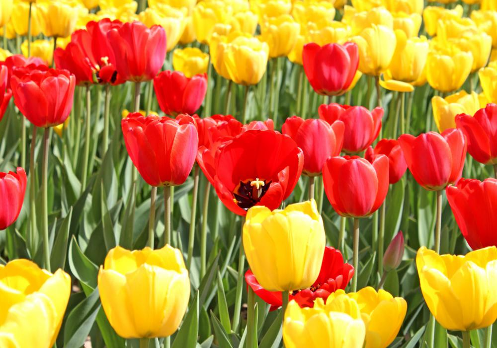The tulip craze became an event due to the popularity of the tulip.