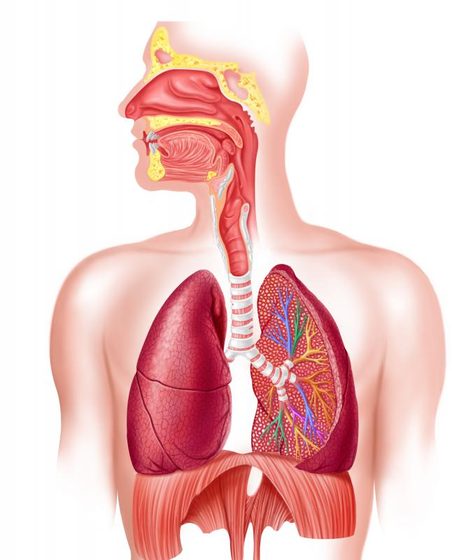 Cilia lining the sinuses and bronchial tubes can be damaged or paralyzed by smoking.