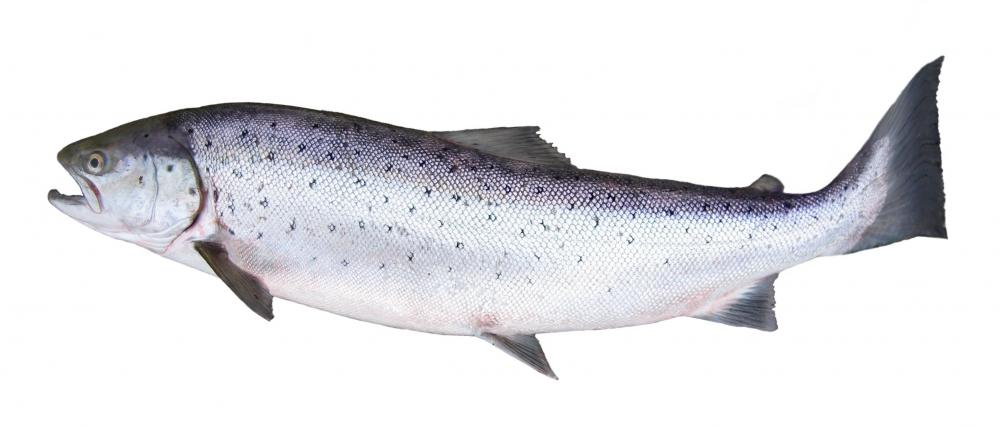 Salmon are one of the most common types of fish caught on a fly.