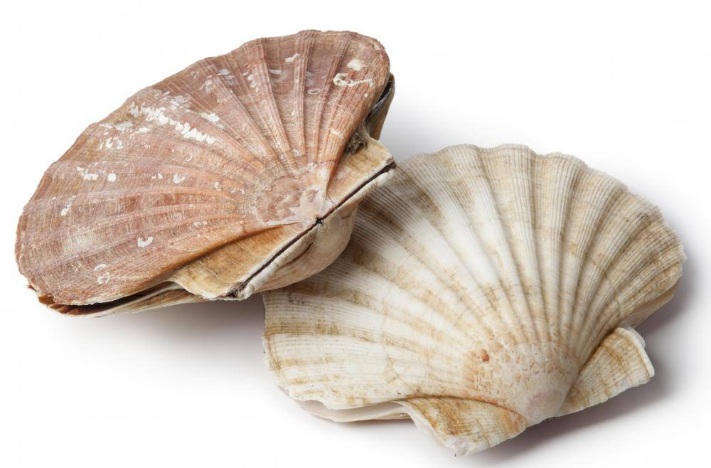 Scallops, a type of bivalve mollusk.