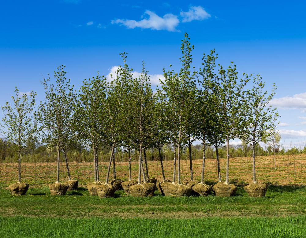Tree saplings are slender, immature trees ready for planting.