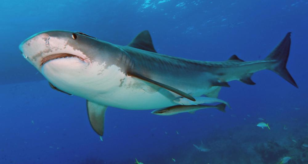A shark's skeleton is mostly made of cartilage.