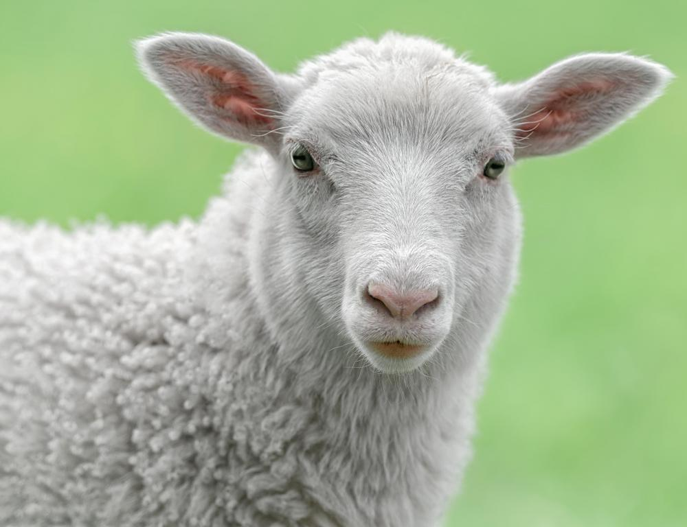 Sheep may be raised on a farm that profits from selling wool.