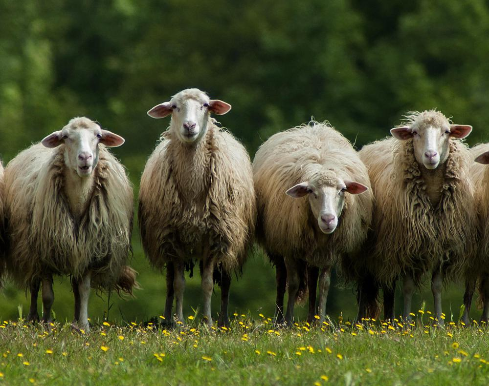 The placentas of sheep are considered particularly rich in nutrients.