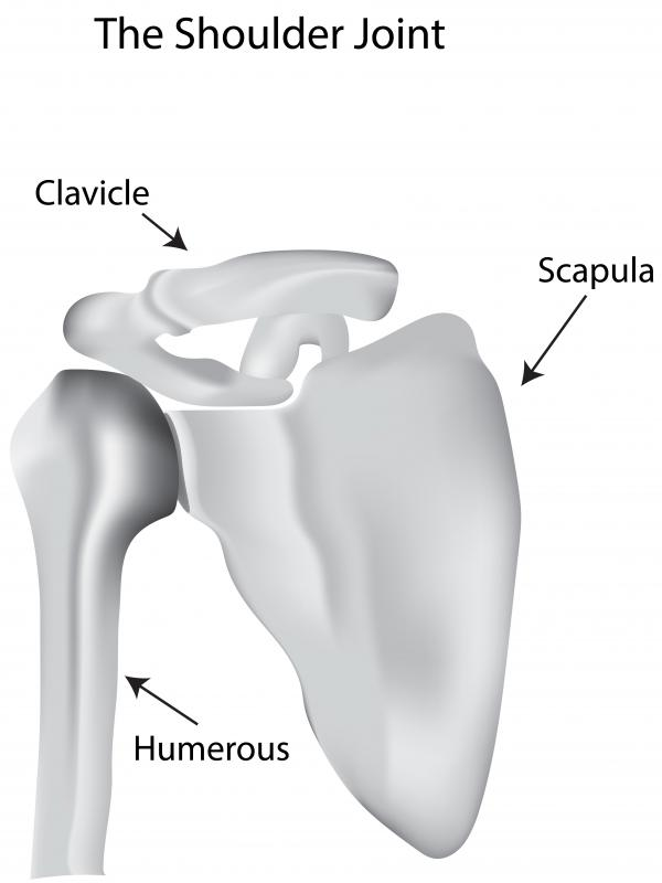 The clavicle, also called the collar bone, connects the shoulder to the sternum.