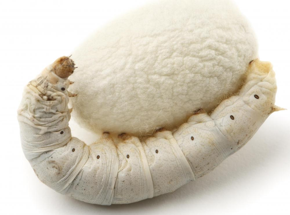 A silkworm with its cocoon.