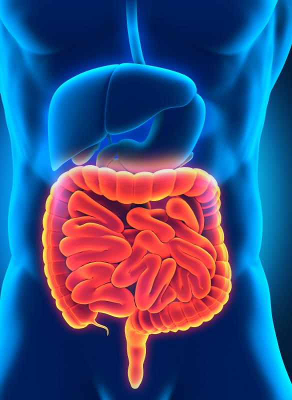 The duodenum is a short portion of the small intestine connecting it to the stomach.