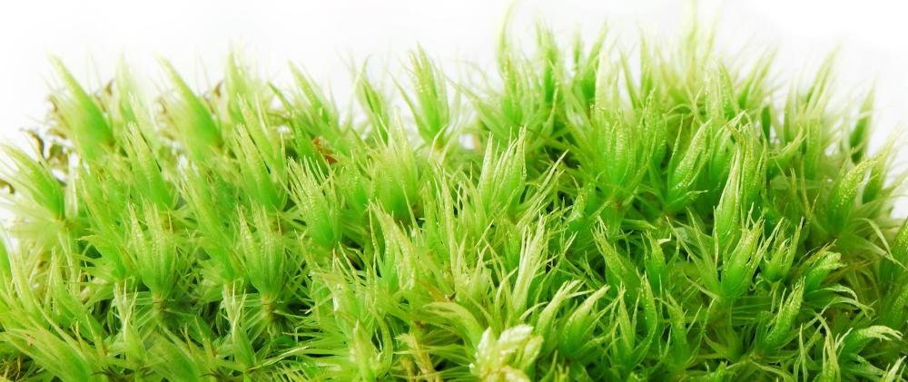 """Peat moss"" is actually the decomposed, dead remains of sphagnum moss."