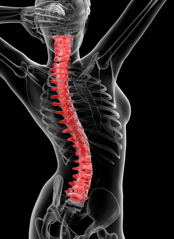 Fibrocartilage supports the spine.