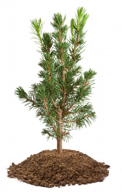 A tree sapling can range in height from 2 to 10 feet.