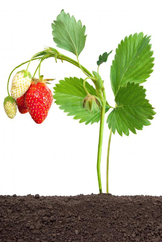 Strawberries are rich in vitamin C.