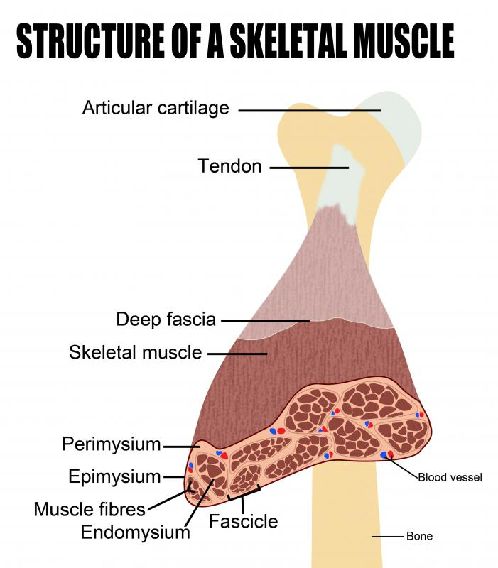 In skeletal muscles, the sarcolemma forms tubules deep inside the muscle cell known as transverse tubules.