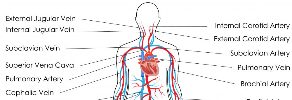 The jugular vein drains blood into the subclavian vein on its way to the heart.