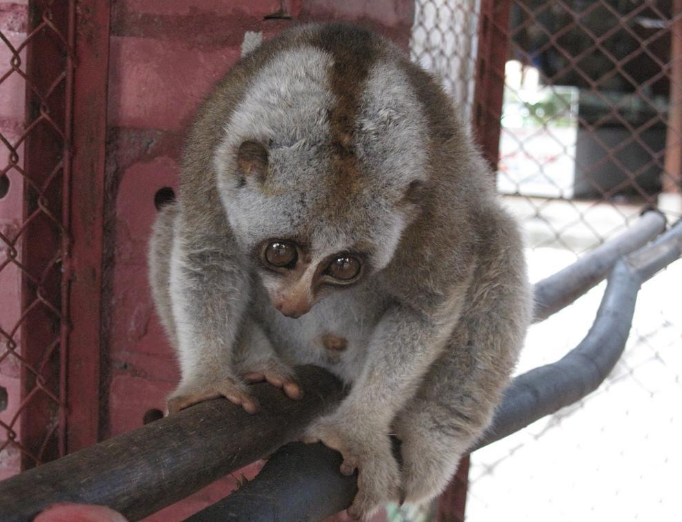The Sunda slow loris is a type of primate.