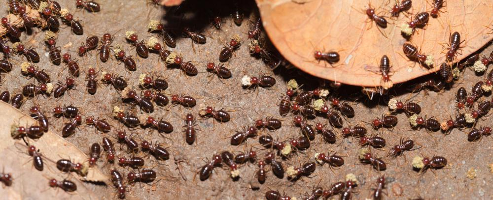 Cedar and pine can be especially vulnerable to termite infestation.