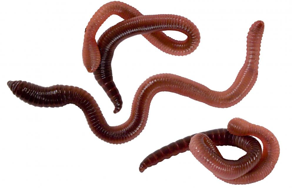 Earthworms are deposit feeders.