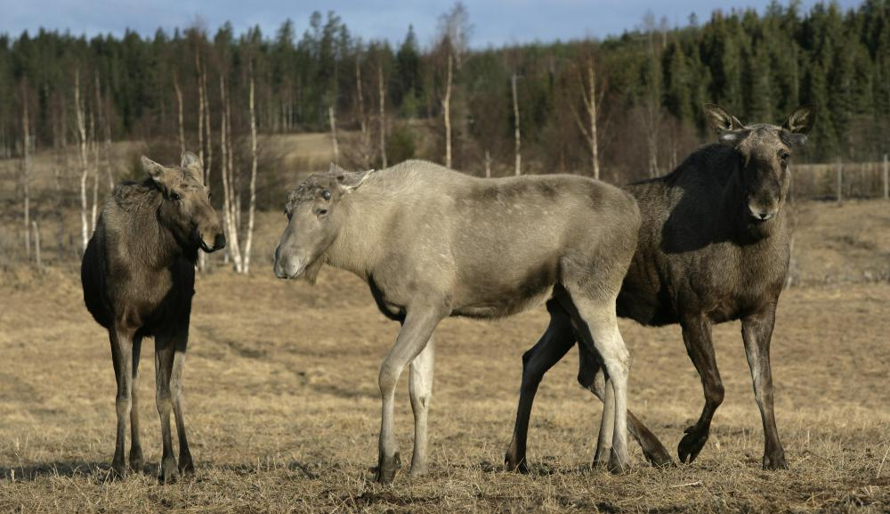 The moose test originated in Scandinavia, where there is a large population of European moose.