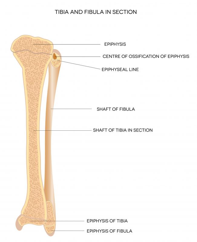 A diagram showing the tibia, which is impacted by shin splints.