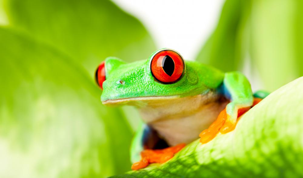 Amphibians, like tree frogs, are non-amniotic, cold-blooded tetrapods who spend at least part of their life on land.