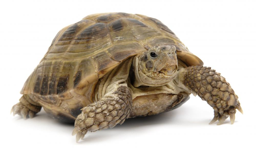 Turtles are one of the few vertebrates that have no sternum.