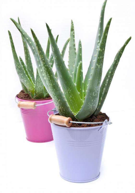 Aloe vera plants are good to keep indoors.