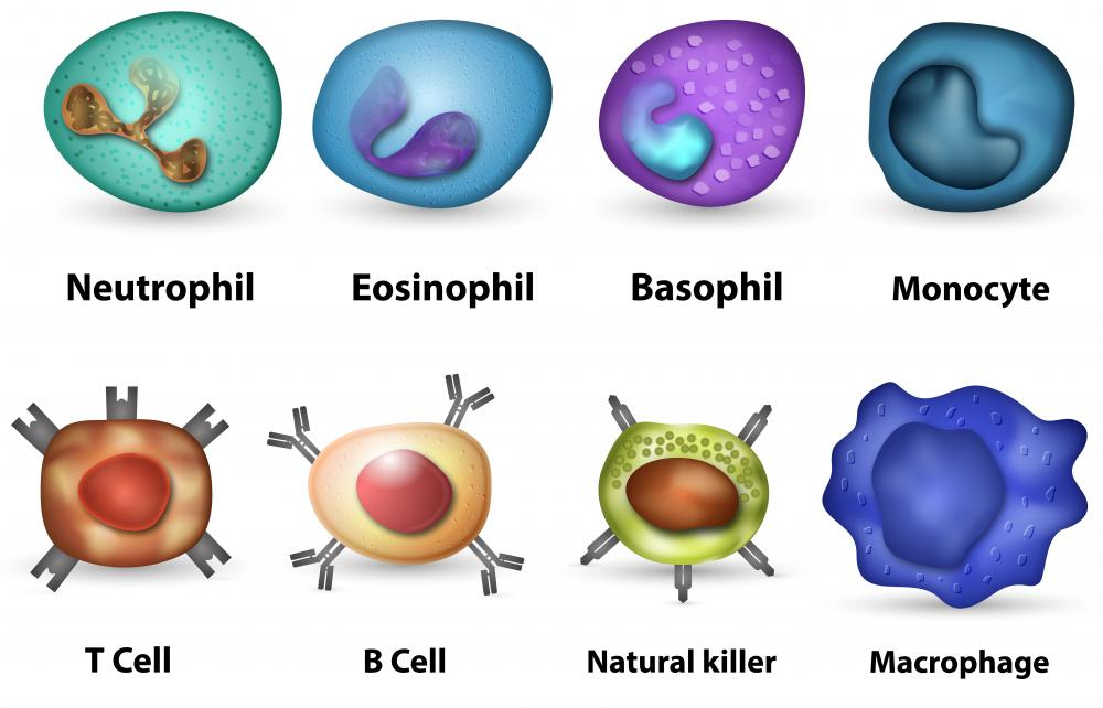 There are two main types of white blood cells, called memory T cells and memory B cells.