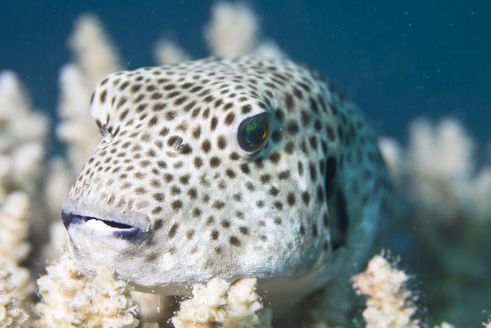 """Fugu"" is the Japanese word for pufferfish, a type of delicacy on the archipelago."