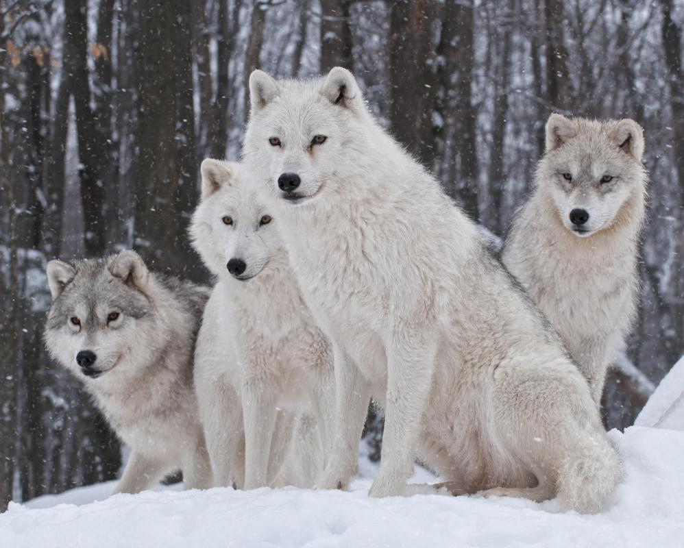 A wolf pack is lead by the alpha male.