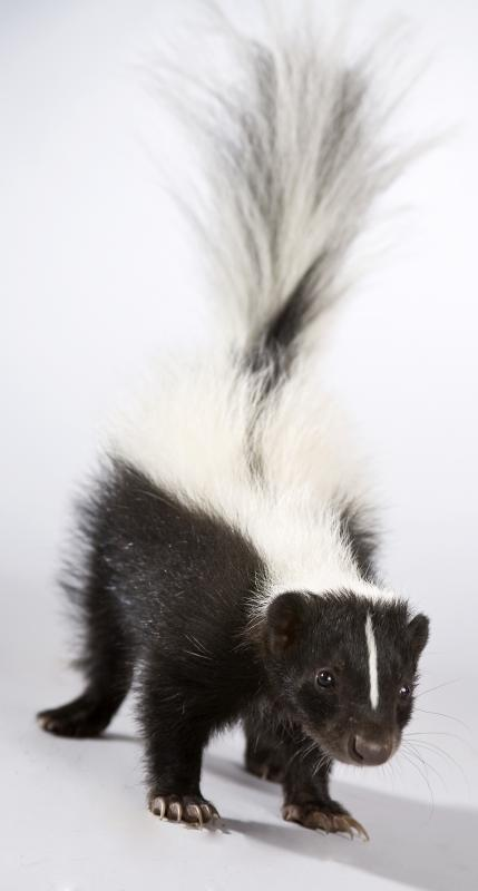 A skunk has one of the worst odors on the planet.